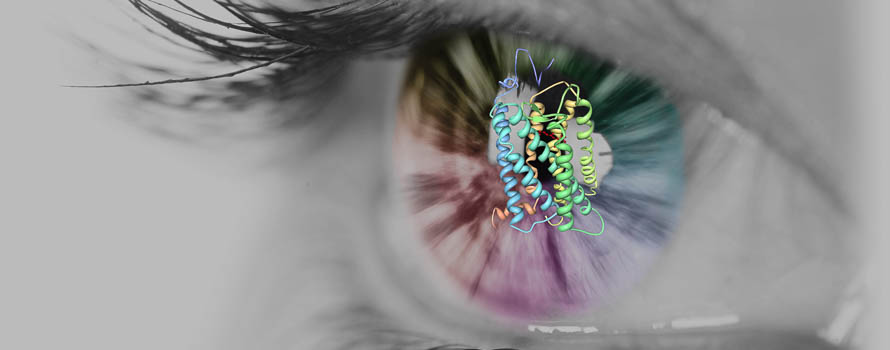 The structure of rhodopsin in the foreground, with a human eye in the background