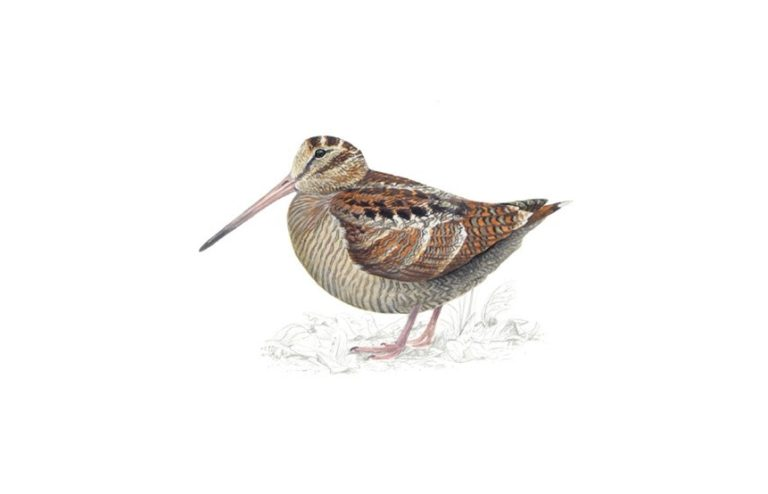 Woodcock bird