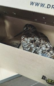 Rescued Woodcock