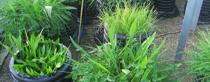Pots of grasses grown in a mesocosm (an outdoor experiment under controlled conditions)