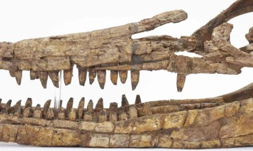 Ichthyosaur skull
