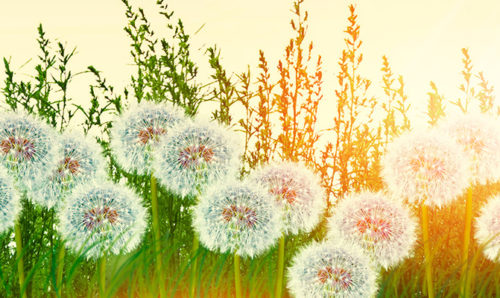 Dandelions in the sun